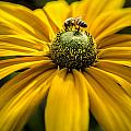 Bee On A Daisy by Irene  Theriau