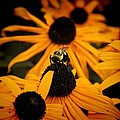 Bee On A Daisy by Jim Lepard