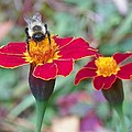 Bee On A Marigold 2 by Lynne Miller