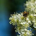 Bee On A Rowan Flower - Featured 3 by Alexander Senin
