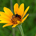 Bee On A Smooth Oxeye by Mark Hudon