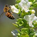 Bee On Basil by Nikki Vig