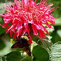 Bee On Bee Balm Flower by Glenn Morimoto