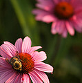 Bee On Coneflower by Crystal Heitzman Renskers