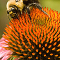 Bee On Coneflower by Jason Young