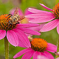 Bee On Coneflower by Lindley Johnson