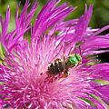 Bee On Corn Flower by Corinne Elizabeth Cowherd