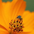 Bee On Cosmo by Lisa L Silva