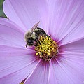 Bee On Cosmos by MTBobbins Photography