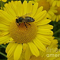 Bee On Daisy by Bev Conover