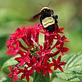 Bee On Flower Cluster by Cynthia Guinn