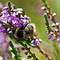 Bee On Heather by Roberto Pagani