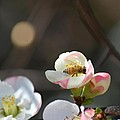 Bee On Japanese Quince by Maria Urso
