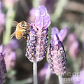 Bee On Lavender Square by Carol Groenen