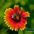 Bee On Orange Flower by Stephen Whalen