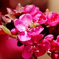Bee On Pink Blossoms 031015ab by Edward Dobosh