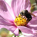 Bee On Pink Cosmos by Carol Groenen