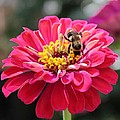 Bee On Pink Flower by Cynthia Guinn
