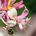 Bee On Pink Honeysuckle by Renee Croushore
