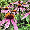 Bee On Purple Coneflower by Angela Rath