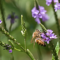 Bee On Purple Loosestrife  by Optical Playground By MP Ray