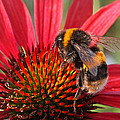 Bee On Red Coneflower 2 by Gill Billington