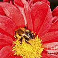 Bee On Red Dahlia by Diane Macdonald