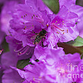 Bee On Rhododendrons by Yefim Bam