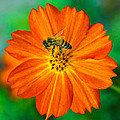 Bee On The Orange Cosmos 2 by Randy Straka