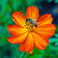 Bee On The Orange Cosmos by Randy Straka