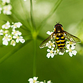 Bee On Top Of The Flower - Featured 3 by Alexander Senin