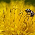 Bee Pollen by Elaines Echoes of Light