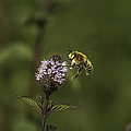 Bee Pollination by Thomas Young
