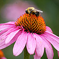 Bee Resting On Cone Flower by Glenn Morimoto