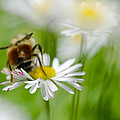 Bee The Daisy by Don Schwartz