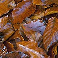 Beech (fagus Sp.) Leaves by Science Photo Library