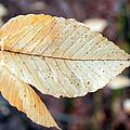 Beech Leaf In Winter by Harold Hopkins