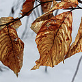 Beech Leaves by Andrew Pacheco