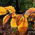 Beech Leaves In Winter by Susie Peek