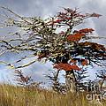 Beech Tree, Chile by John Shaw