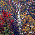 Beech Tree In Autumn Forest by William Kuta