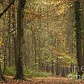 Beech Wood Walk by Anne Gilbert