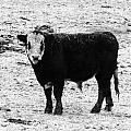 Beef Bandit by J L Zarek