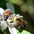 Bee's by Anna Burdette