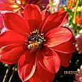 Bee's Dahlia Delight by Csilla Florida