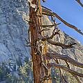 Beetle Barren Pine by Scott Campbell