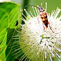 Beetle On Buttonbush by Optical Playground By MP Ray