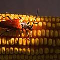 Beetle On Corn Ear by Douglas Barnett
