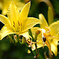 Beetle Resting On Yellow Lily Flower by Glenn Morimoto