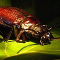 Beetle With Powerful Mandibles by Douglas Barnett